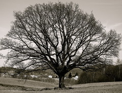 Solitary (AstridWestvang) Tags: tree field solitary sande
