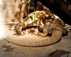 Komodo Dragon (GSankary) Tags: lizard komododragon monitorlizard minnesotazoo tropicstrail