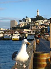 San Fran seagull