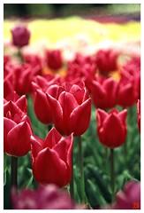 Tulip(Fil,m) 070414 #08