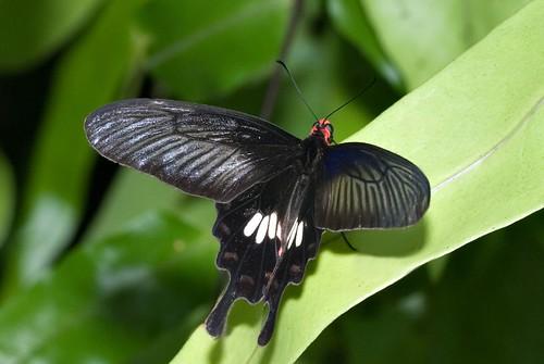 Regal Butterfly