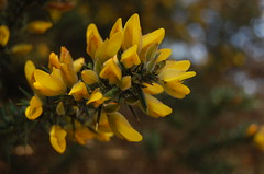 Gorse Flowers