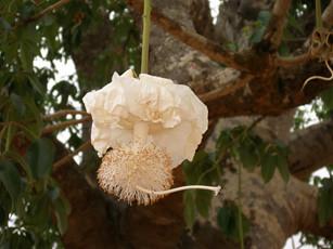 Flôr de Baobá por wilsonbentos.