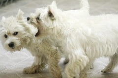 Let Me Tell You One More Thing (Back in the Pack) Tags: dog white cute dogs puppy rebel small westie daycare cleo bridie f4l wwwdogdaycareca xt70200mm iscalgarydog wwwbackinthepackca albertabarks