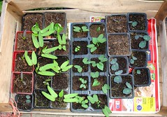 A mixed bunch of seedlings (with the names in notes, roll your mouse over ...)