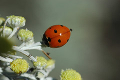 Flower or Ladybird (David Lev) Tags: red plants black yellow bravo searchthebest gray beetle mygarden shrubs eyeofthebeholder naturesfinest nirim magicdonkey instantfave coccinella7punctata outstandingshots flickrsbest twtme anawesomeshot superaplus aplusphoto 1on1allbugs diamondclassphotographer flickrdiamond the7spotladybird artemisiaobsinthium