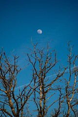 Skeleton Tree Moon Rise