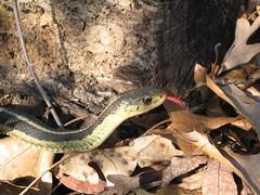 Garter Snake 1 - by whiteoakart