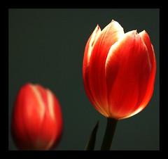 Where do i belong? (tanwarvikas) Tags: flowers red macro tulip krishlikesit