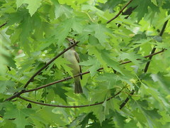Warbling or solitary vireo