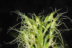 蘭科 玉鳳蘭屬 叉瓣玉鳳蘭 (花1) 松羅步道 Habenaria pantlingiana