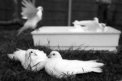 white-doves (maxington) Tags: white birds bath faves bathing doves