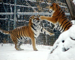 Tigers in the snow (Alexander Yates) Tags: winter usa snow newyork nature animal topv111 cat ilovenature zoo fight play unitedstates tiger syracuse writer novelist rosamondgiffordzoo amurtigers travelwriter alexanderyates