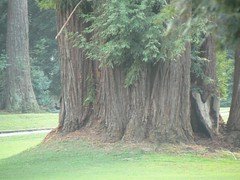 Redwood trees on the golf course