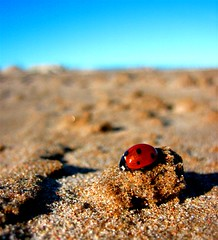 Coccinellidae II - Mariquita in the beach - by yamiq