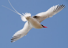 Red-billed Tropicbird (Phaethon aethereus) (tj.haslam) Tags: africa wild bird birds geotagged westafrica e300 senegal 50200mm birdwatching ilesdelamadeleine abw breedingplumage senegambia zd outstandingshots redbilledtropicbird phaethonaethereus specanimal impressedbeauty brisbanebirds birdsgs nozooshots