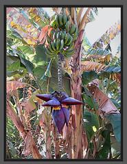 Bananes et ses fleurs - by Julie70