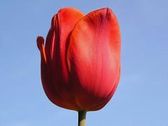 Rode tulp blauwe lucht (Bn) Tags: en vogels bloemen