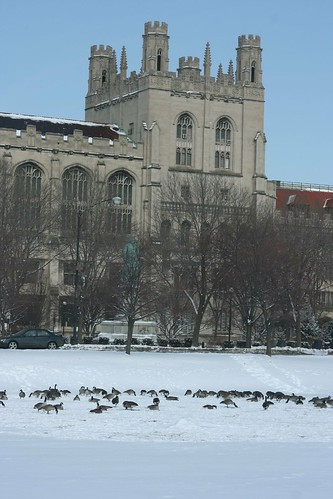 University and Geese