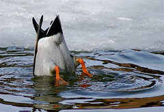 Bottoms Up! (Greg Adams Photography) Tags: winter snow ice water duck upsidedown bottom pa sp newhope 2007 featheryfriday hhsc2000 impressedbeauty