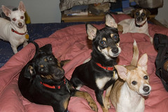 For the people who ask, how do I manage having my dogs and fosters without losing my mind?? (joschmoblo) Tags: copyright chihuahua dogs d50 miniature nikon mine terrier foster mutts jackrussellterrier everywhere minpin pinscher allrightsreserved 2007 manchesterterrier joschmoblo christinagnadinger iforgotthespeedlighthencethegreeneyesgrr