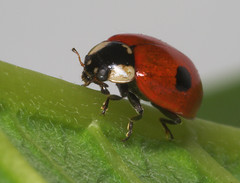 """Two-spot Ladybird (Adalia 2 punctata)(1) • <a style=""""font-size:0.8em;"""" href=""""http://www.flickr.com/photos/57024565@N00/399879136/"""" target=""""_blank"""">View on Flickr</a>"""