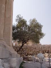 Greece-07-2004-Athens-Acropolis-athenas-olive-tree