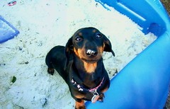Sandy nosed Brady (Kirsten41892) Tags: dog hotdog dachshund cutedog brady doxie weinerdog cannine sandynosed