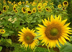 Sunflower Garden (Storm Crypt) Tags: flowers plants sun plant macro green nature yellow garden airport singapore asia southeastasia outdoor sunflower changi livingthings smokingarea floweringplants flowermacro outdoorgarden changiinternationalairport sunflowergarden singaporegardens airportgarden plantsspecie