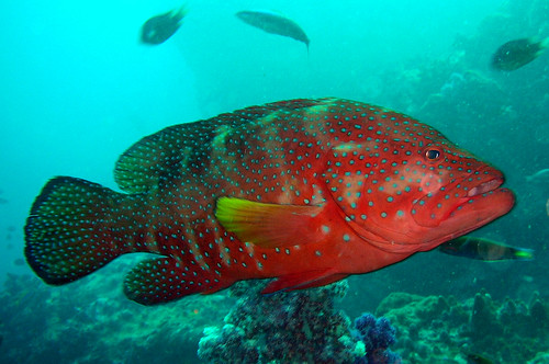 Coral Hind at Similan Islands