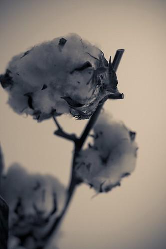 fleur de coton #5