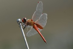 dragonfly (Jamdowner) Tags: insect dragonfly kingston jamaica