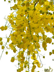 kanikonna (sash/ slash) Tags: india flower kerala sash yellowflower vishu sajesh konna kanikonna