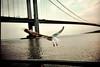 wingbridge (shveckle) Tags: nyc bridge color film water nycpb brooklyn seagull streetphotography lomolca gothamist verrazanobridge verrazano shveckle wnwthebirds