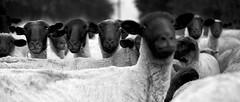 Sheep - Tribute to Pink Floyd (Luis Montemayor) Tags: road blackandwhite blancoynegro animal mexico sheep carretera oveja myfavs tlalpan 235