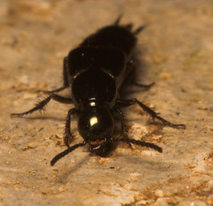 "Rove beetle (Staphilinidae)(2) • <a style=""font-size:0.8em;"" href=""http://www.flickr.com/photos/57024565@N00/420351424/"" target=""_blank"">View on Flickr</a>"