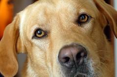 PaD 2007 - 69 - The Look (AV4TAr) Tags: portrait dog closeup d50 labrador claudio av4tar impressedbeauty pad2007