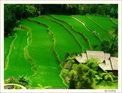 Downhill (Araleya) Tags: travel bali mountain color green beautiful indonesia fz20 fantastic colorful asia southeastasia paddy vivid panasonic absolutely feeling agriculture majestic cultures tropics senstation araleya terreac