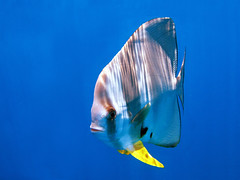 if a fish see u and pose your camera u know its Maldives - Michael Aw (muha...) Tags: blue sea party fish canon maldives batfish shallowwater superbmasterpiece muhaphotos michaelaw