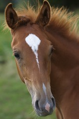 Poulain (Pierre Sohier) Tags: horses cheval chevaux loh poulain