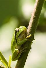 MSD-20060604-56304k (Wolverlei/Martin Stevens) Tags: holland green eye netherlands animal sitting frog breathtaking commontreefrog amphiby