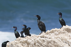 Pelagic and Brandt's Cormorants at Montaña de ...