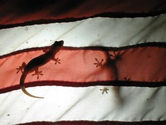Two Geckos (jfpower) Tags: travel sea vacation holiday beach water animals canon john islands sand power post stripes flag philippines el symmetry american barton relaxation geckos reptiles 2007 dorado palawan jfpower