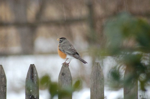 Robin on a fence III