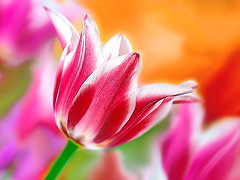 Tulips (mactastic) Tags: pink flowers red orange flower color macro nature beautiful closeup 1025fav wow catchycolors interestingness spring flora bravo colorful pretty tulips bright vibrant vivid rosa explore tulip flore top500 instantfave explored interestingness42 i500 mactastic mywinners abigfave flickrgold colorphotoaward impressedbeauty superbmasterpiece explore20mar07
