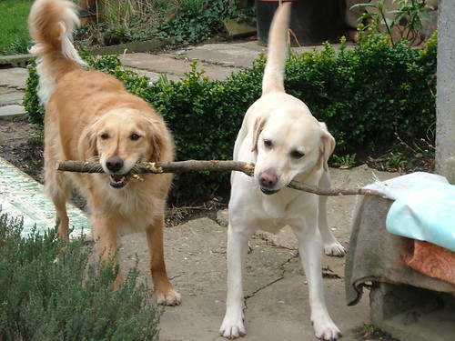 two dogs carrying the stick together!