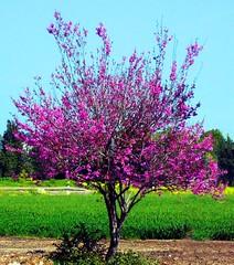 Spring tree (pninaN) Tags: trees 1025fav spring purple 100v10f anawesomeshot favoritegarden flickrdiamond top20pink superhearts