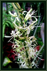 Close-up of White Snakeplant/Sansevieria's Flowers