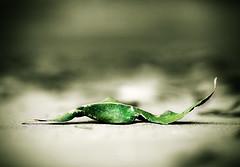 Da 259 . Coyoacn . Muerte Verde (WakamouL) Tags: verde green hoja mexico leaf coyoacan gp ltytrx5 ltytr1 dflickr230307 gpcomconceptos