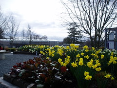Daffodils in Foreground with Greenhouses in Back